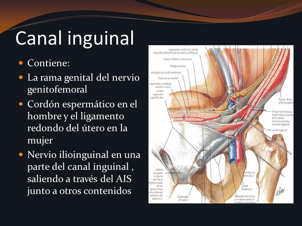 Canal inguinal Contiene: La rama genital del nervio genitofemoral