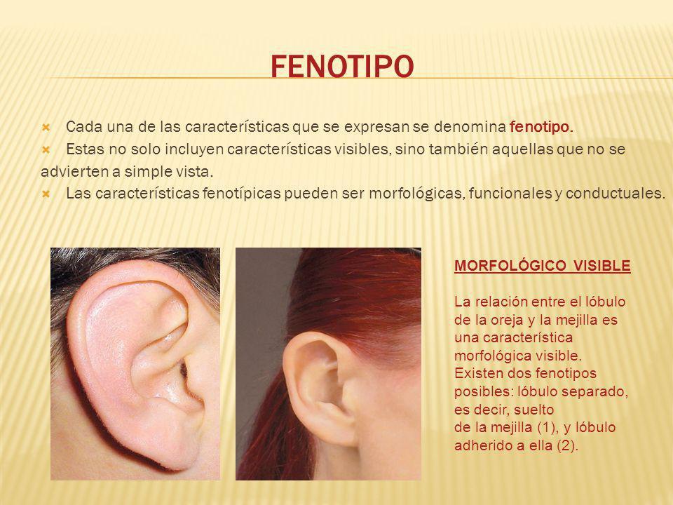 FENOTIPO Cada una de las características que se expresan se denomina fenotipo.