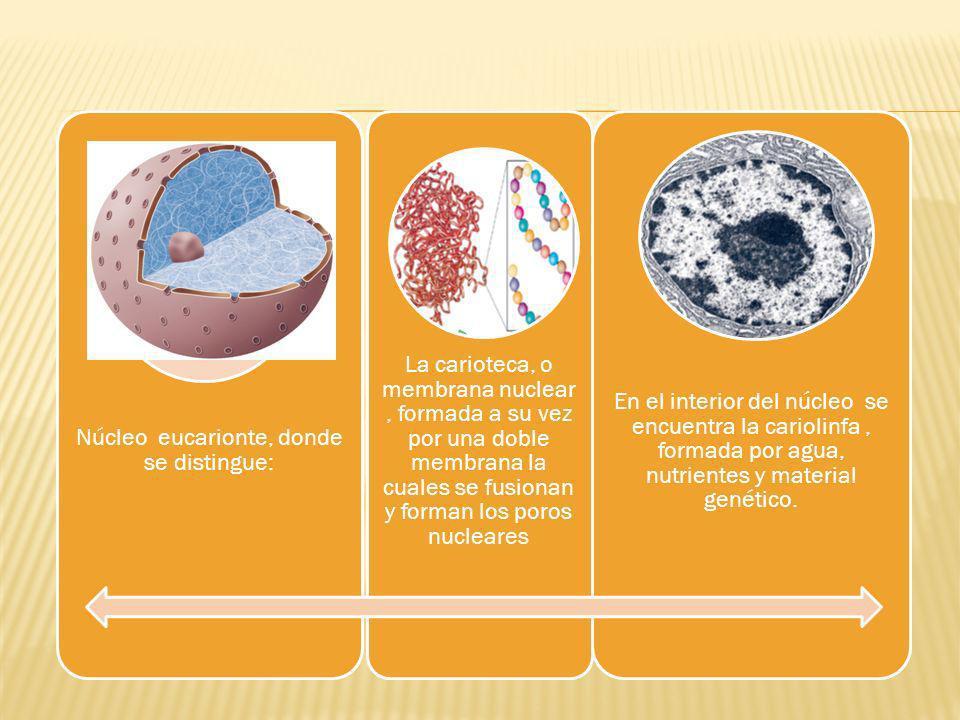 Núcleo eucarionte, donde se distingue: