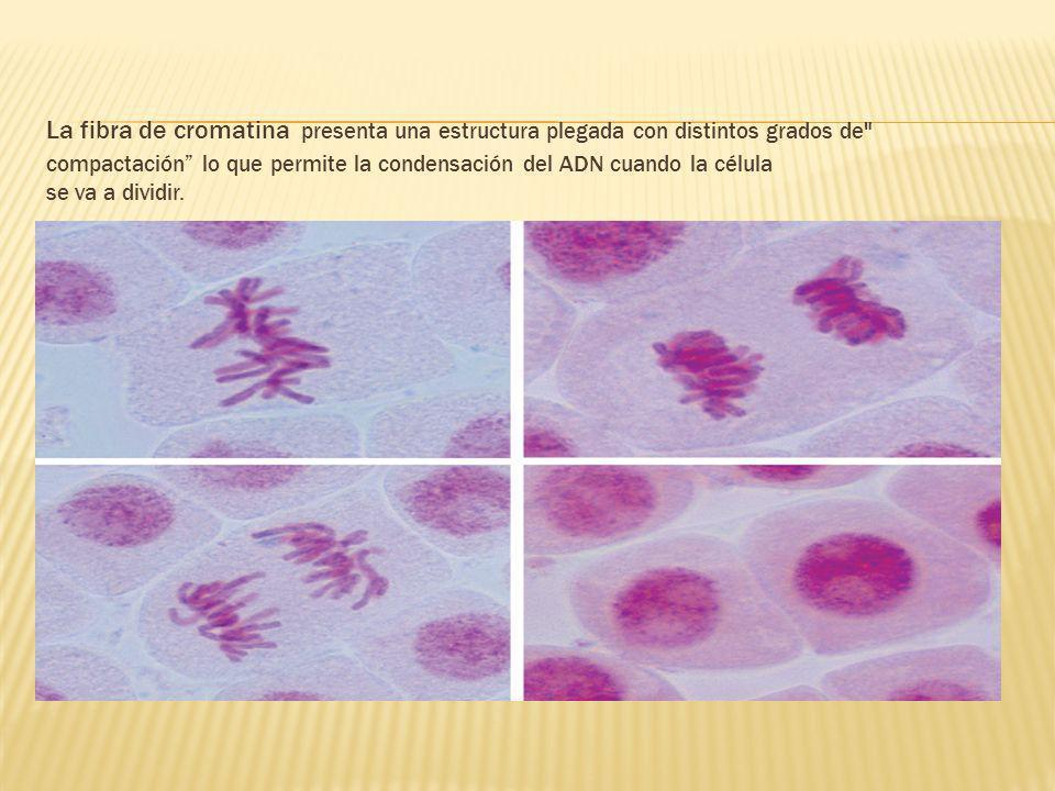 La fibra de cromatina presenta una estructura plegada con distintos grados de compactación lo que permite la condensación del ADN cuando la célula se va a dividir.