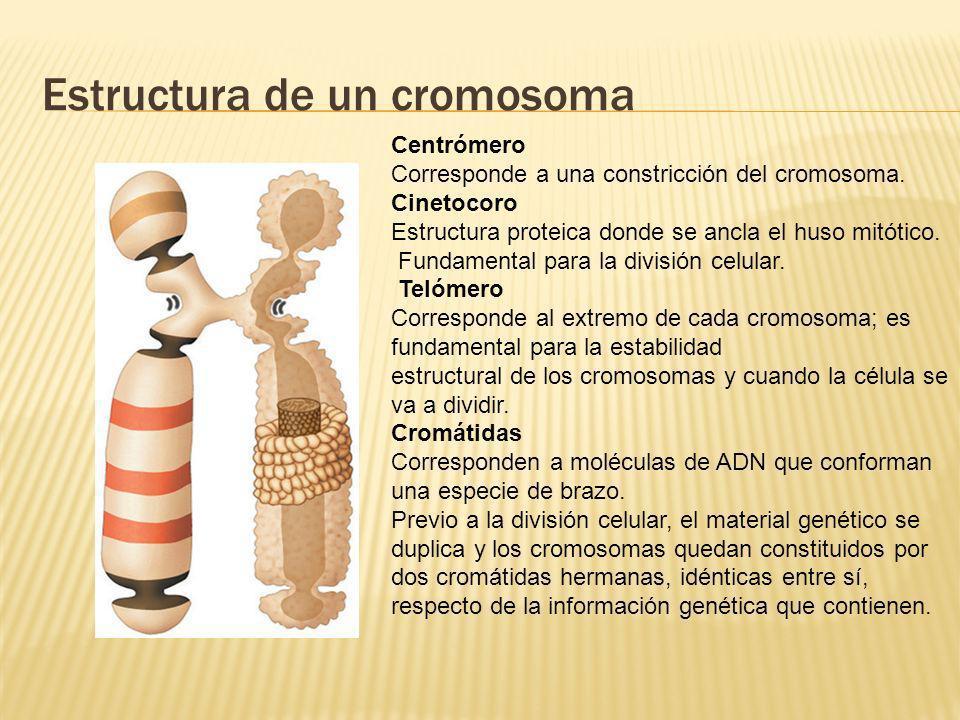 Estructura de un cromosoma
