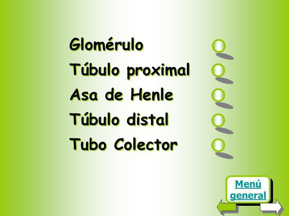 Glomérulo Túbulo proximal Asa de Henle Túbulo distal Tubo Colector