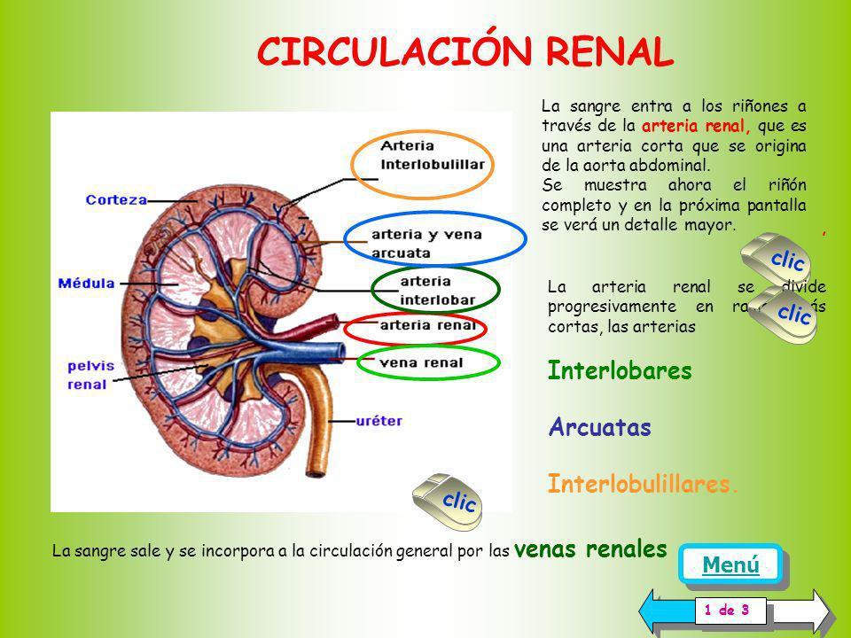 CIRCULACIÓN RENAL Interlobares Arcuatas Interlobulillares. clic clic