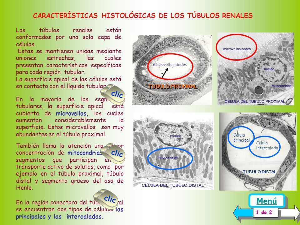 CARACTERÍSTICAS HISTOLÓGICAS DE LOS TÚBULOS RENALES