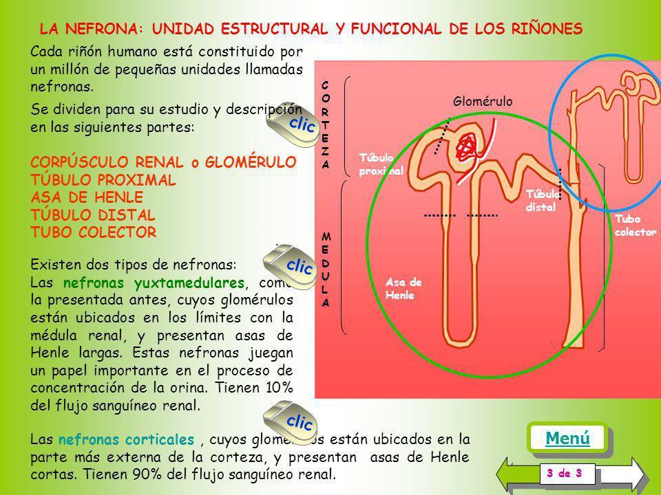 LA NEFRONA: UNIDAD ESTRUCTURAL Y FUNCIONAL DE LOS RIÑONES