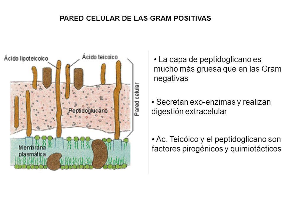 La capa de peptidoglicano es mucho más gruesa que en las Gram