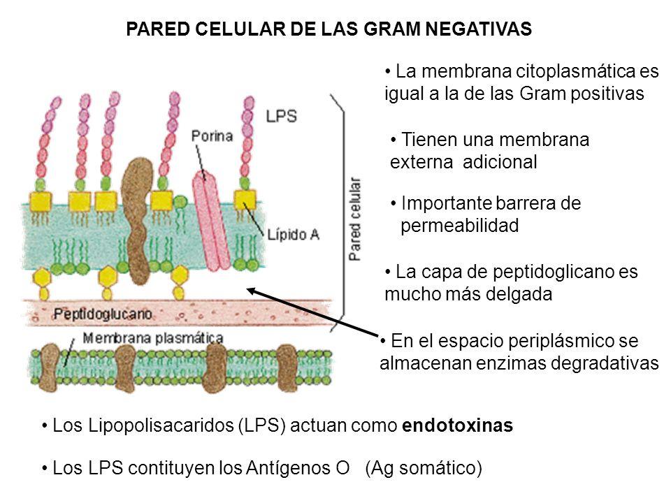 PARED CELULAR DE LAS GRAM NEGATIVAS