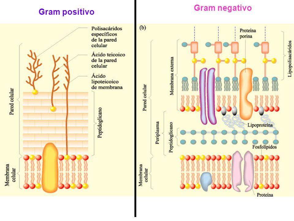 Gram negativo Gram positivo