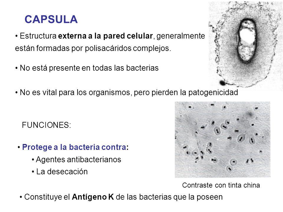 CAPSULA Estructura externa a la pared celular, generalmente están formadas por polisacáridos complejos.