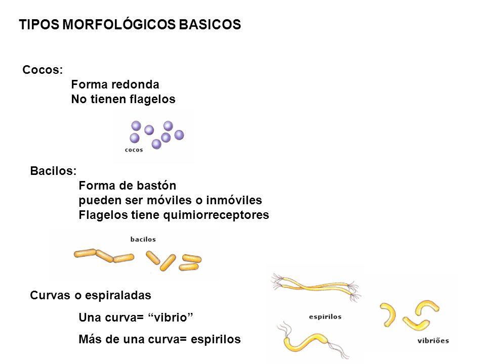 TIPOS MORFOLÓGICOS BASICOS