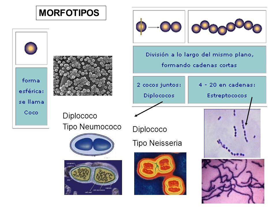 MORFOTIPOS Diplococo Tipo Neumococo Tipo Neisseria