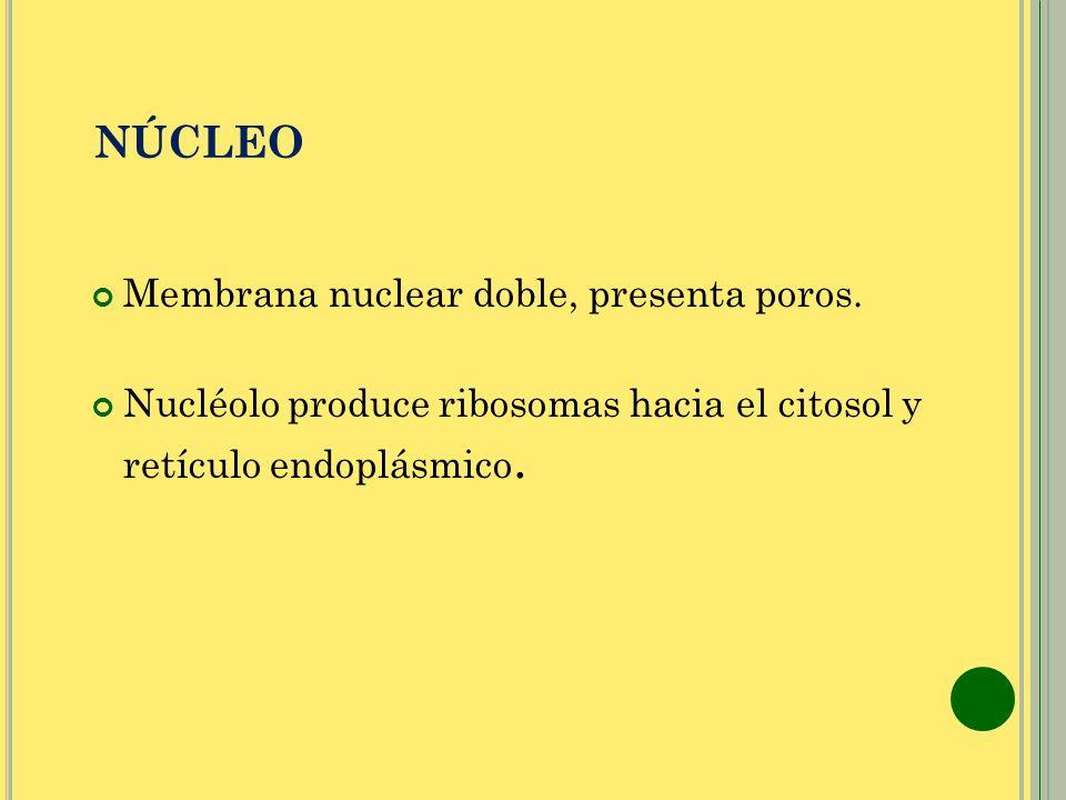 NÚCLEO Membrana nuclear doble, presenta poros.