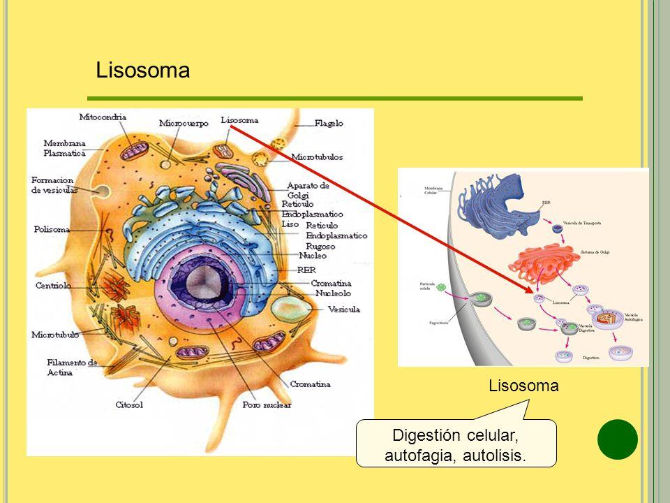 Digestión celular, autofagia, autolisis.