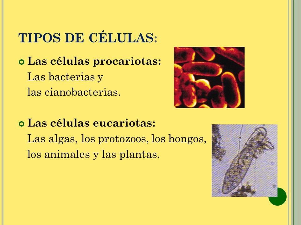 TIPOS DE CÉLULAS: Las células procariotas: Las bacterias y