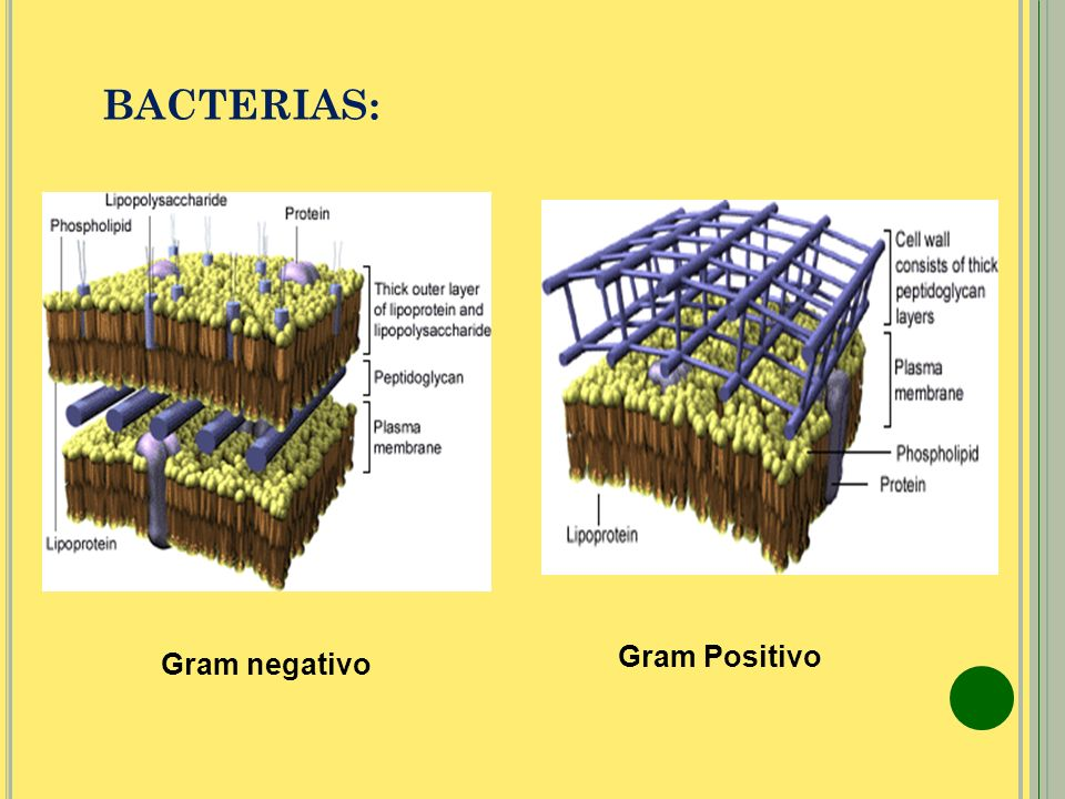 BACTERIAS: Gram Positivo Gram negativo