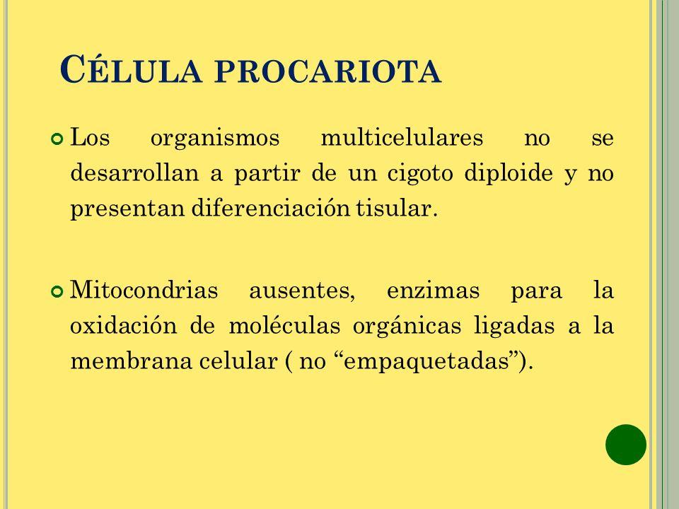 Célula procariota Los organismos multicelulares no se desarrollan a partir de un cigoto diploide y no presentan diferenciación tisular.