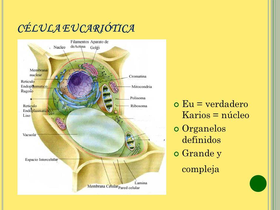 CÉLULA EUCARIÓTICA Eu = verdadero Karios = núcleo Organelos definidos