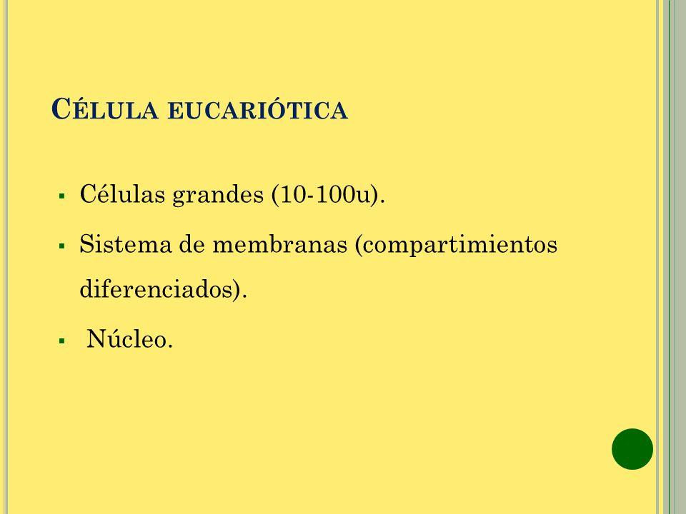 Célula eucariótica Células grandes (10-100u).