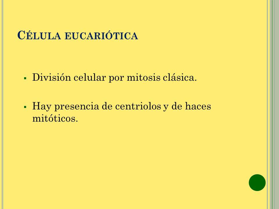 Célula eucariótica División celular por mitosis clásica.