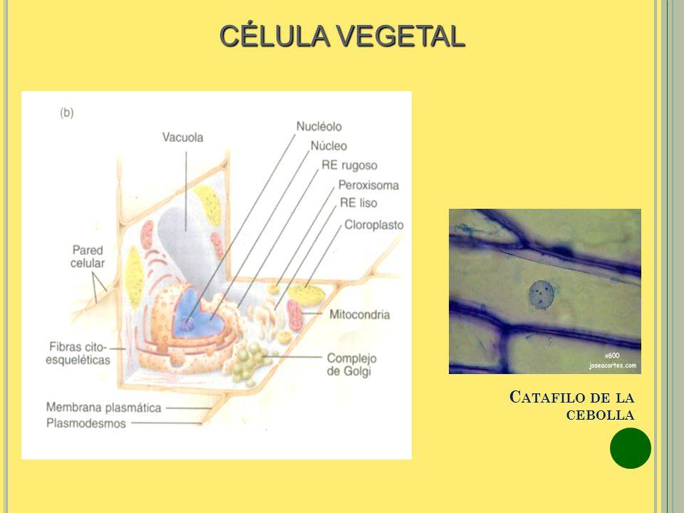 CÉLULA VEGETAL Catafilo de la cebolla