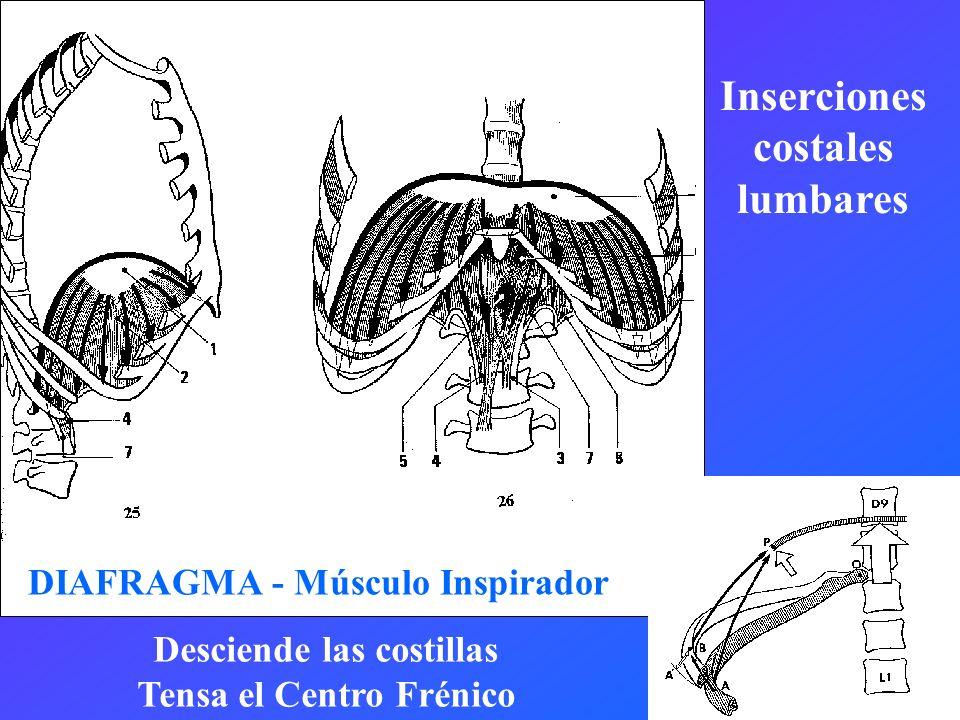 Inserciones costales lumbares