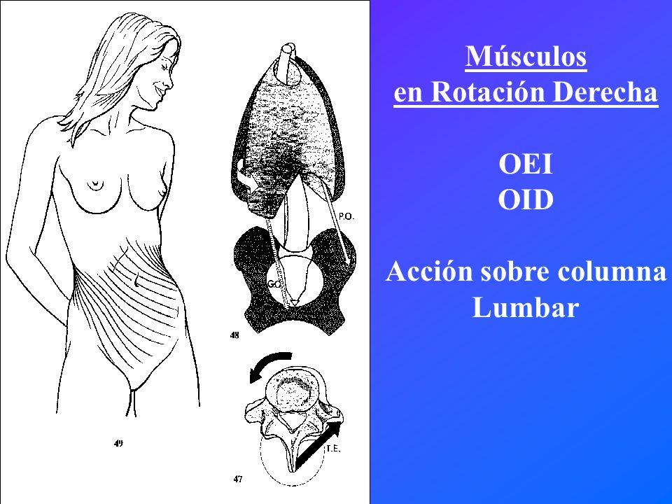 Músculos en Rotación Derecha OEI OID Acción sobre columna Lumbar