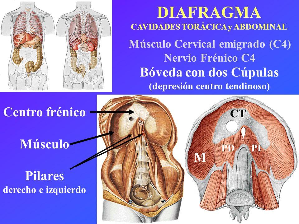 DIAFRAGMA Bóveda con dos Cúpulas Centro frénico Músculo Pilares M