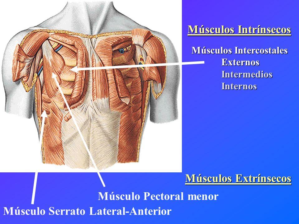 Músculo Serrato Lateral-Anterior Músculo Pectoral menor