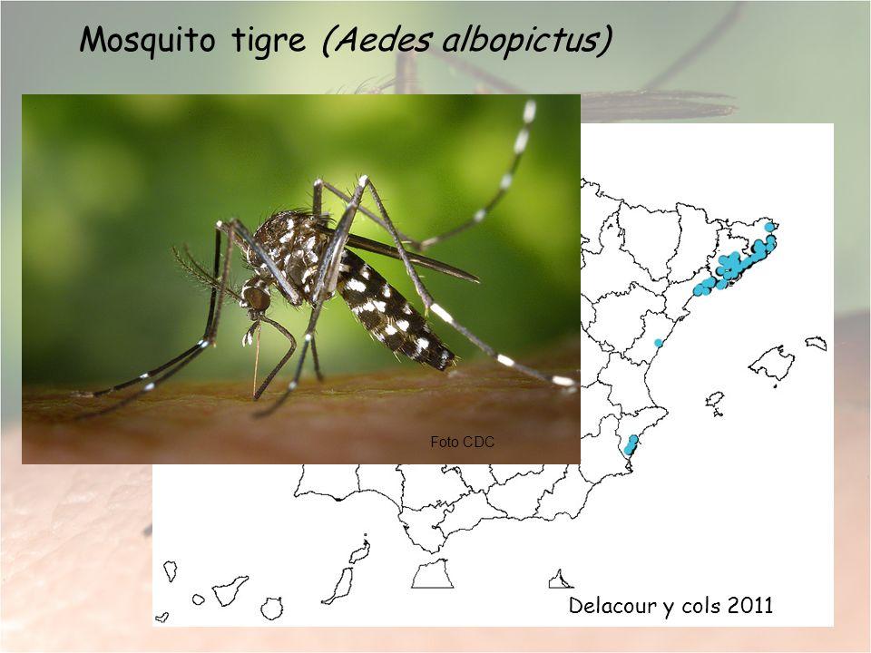 Mosquito tigre (Aedes albopictus)