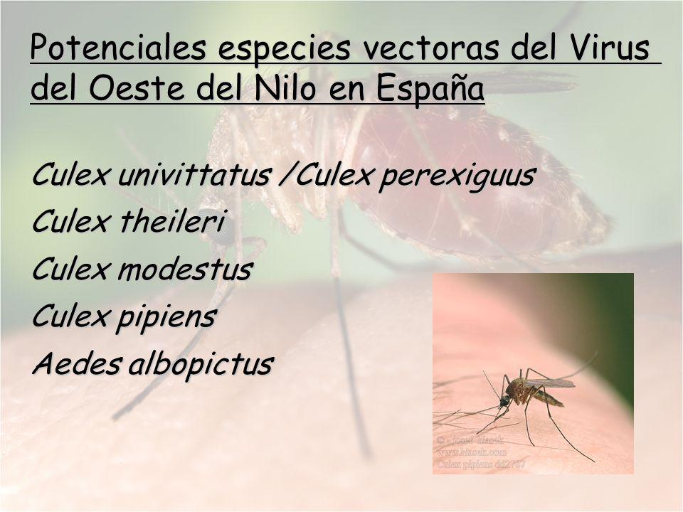 Potenciales especies vectoras del Virus del Oeste del Nilo en España