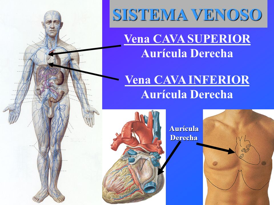 SISTEMA VENOSO Vena CAVA SUPERIOR Aurícula Derecha Vena CAVA INFERIOR