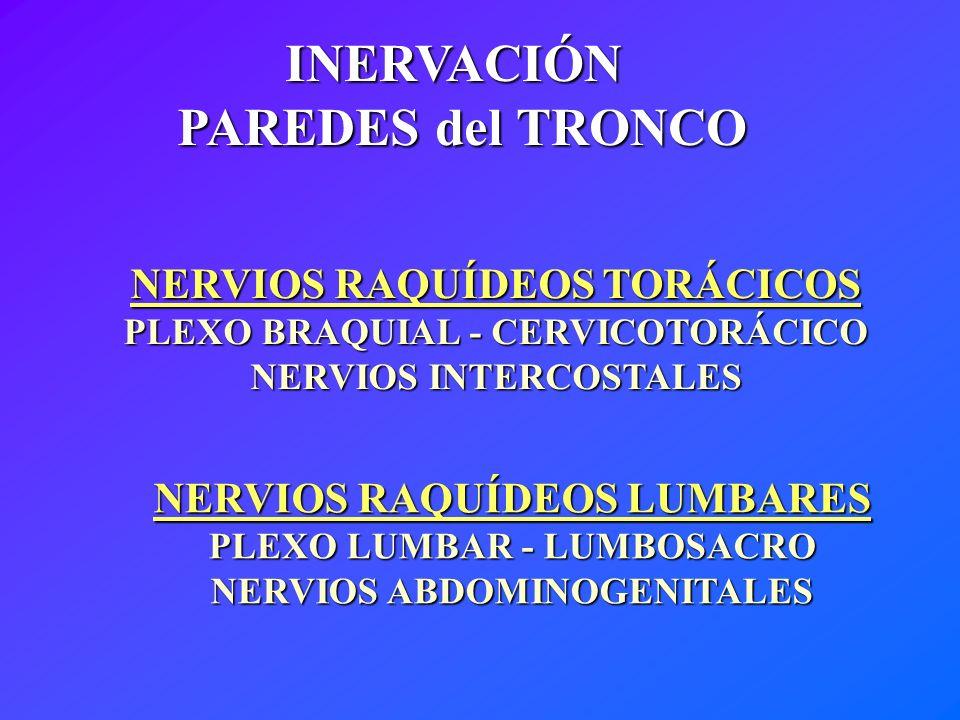 INERVACIÓN PAREDES del TRONCO