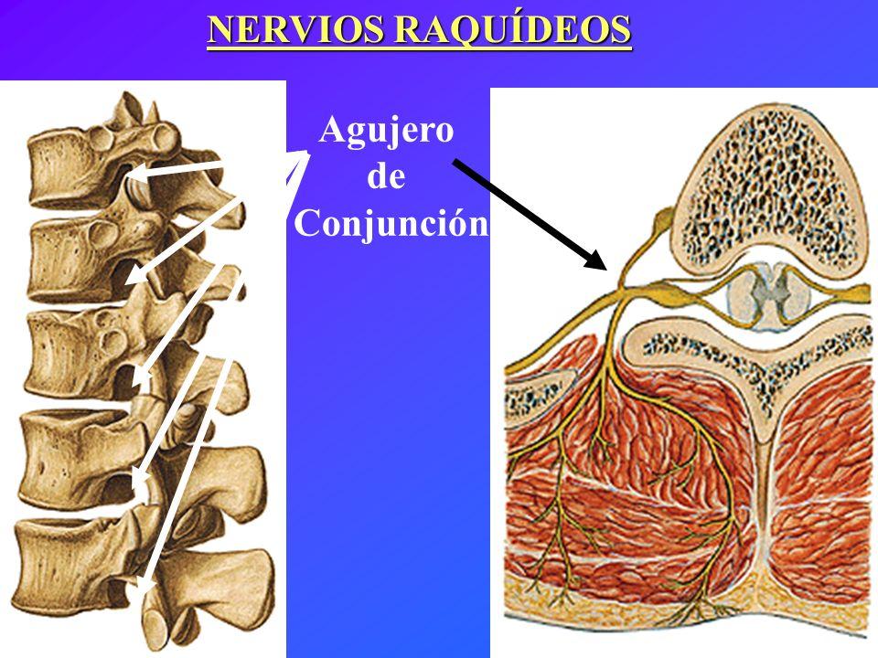 Agujero de Conjunción NERVIOS RAQUÍDEOS