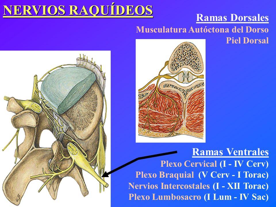 NERVIOS RAQUÍDEOS Ramas Dorsales Ramas Ventrales