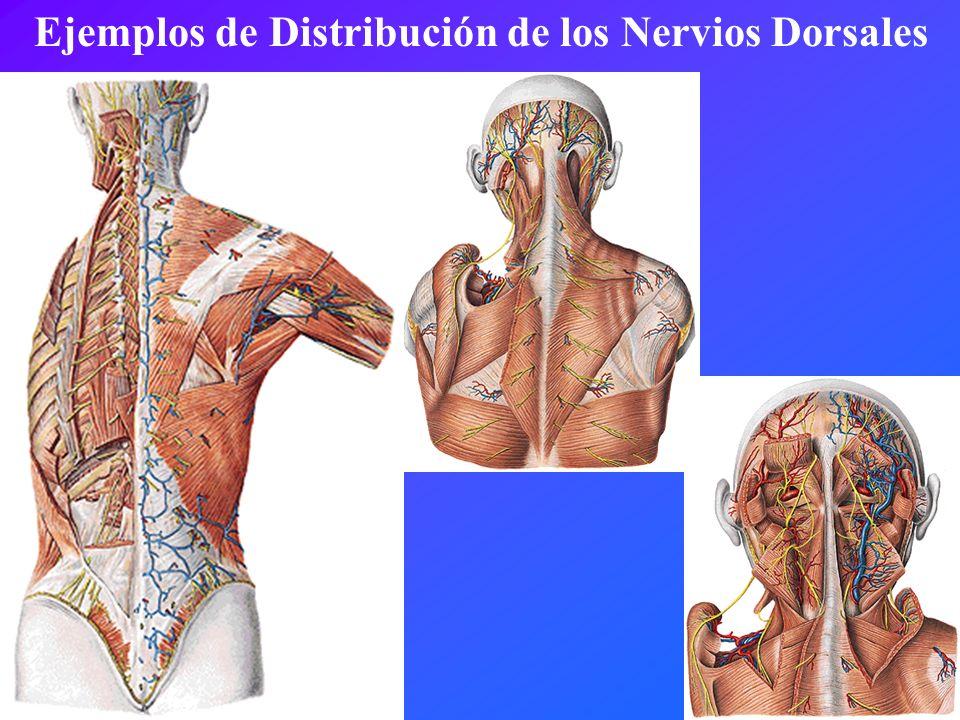 Ejemplos de Distribución de los Nervios Dorsales