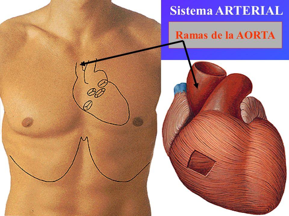 Sistema ARTERIAL Ramas de la AORTA