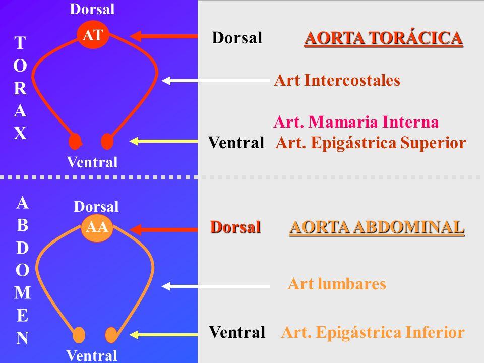 T R X A B D O M E N Dorsal AORTA TORÁCICA Art Intercostales