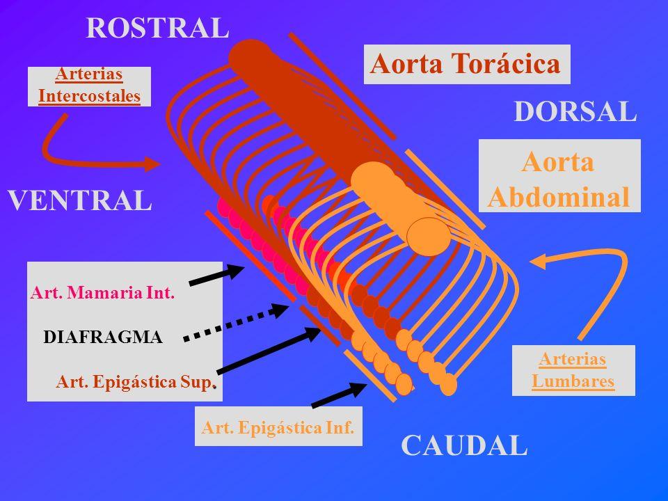 Aorta Abdominal Aorta Torácica VENTRAL CAUDAL ROSTRAL DORSAL