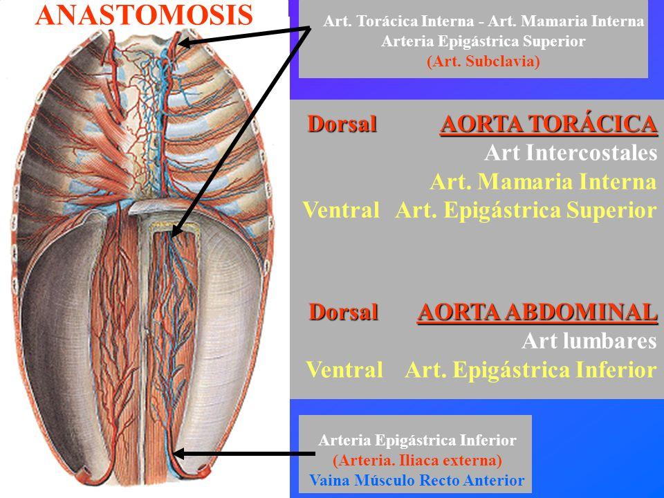 ANASTOMOSIS Dorsal AORTA TORÁCICA Art Intercostales