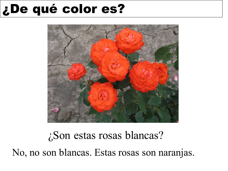 ¿Son estas rosas blancas