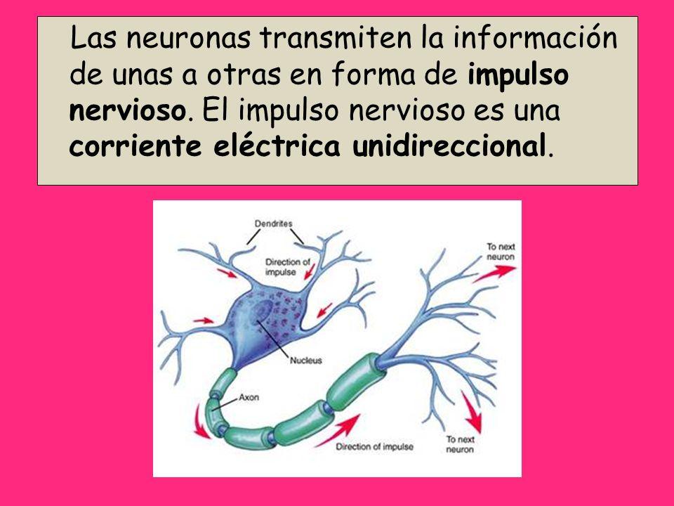 Las neuronas transmiten la información de unas a otras en forma de impulso nervioso.
