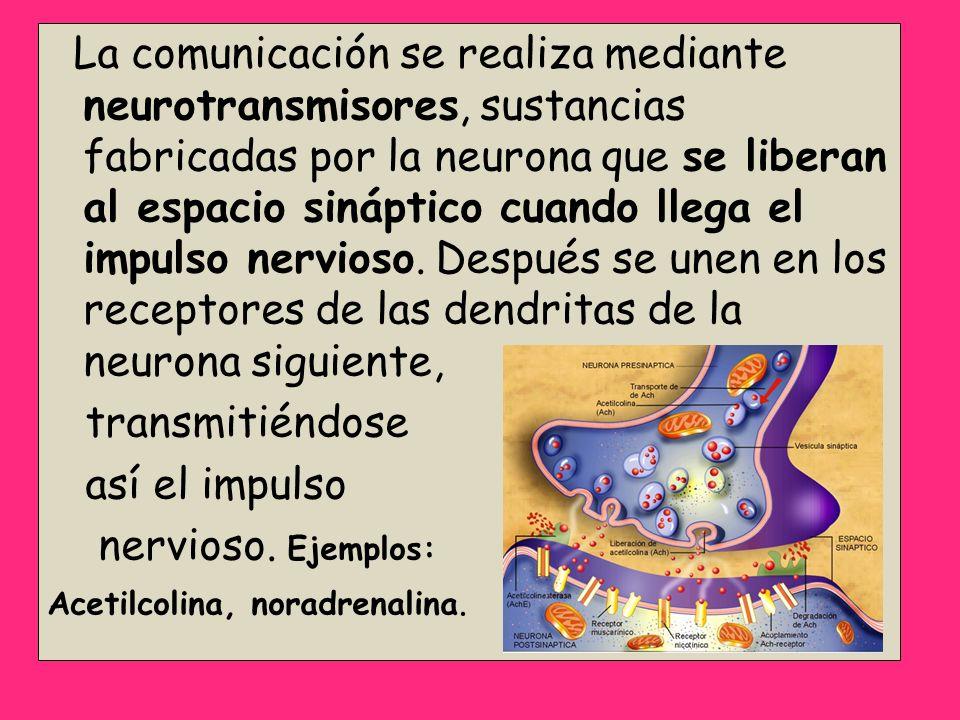 La comunicación se realiza mediante neurotransmisores, sustancias fabricadas por la neurona que se liberan al espacio sináptico cuando llega el impulso nervioso. Después se unen en los receptores de las dendritas de la neurona siguiente,