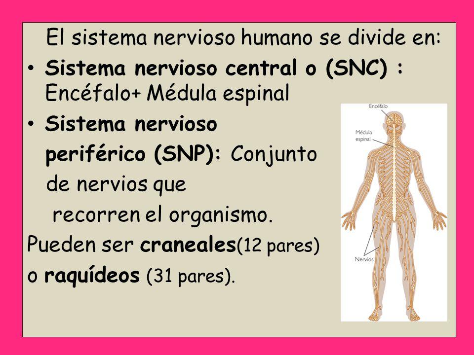 El sistema nervioso humano se divide en: