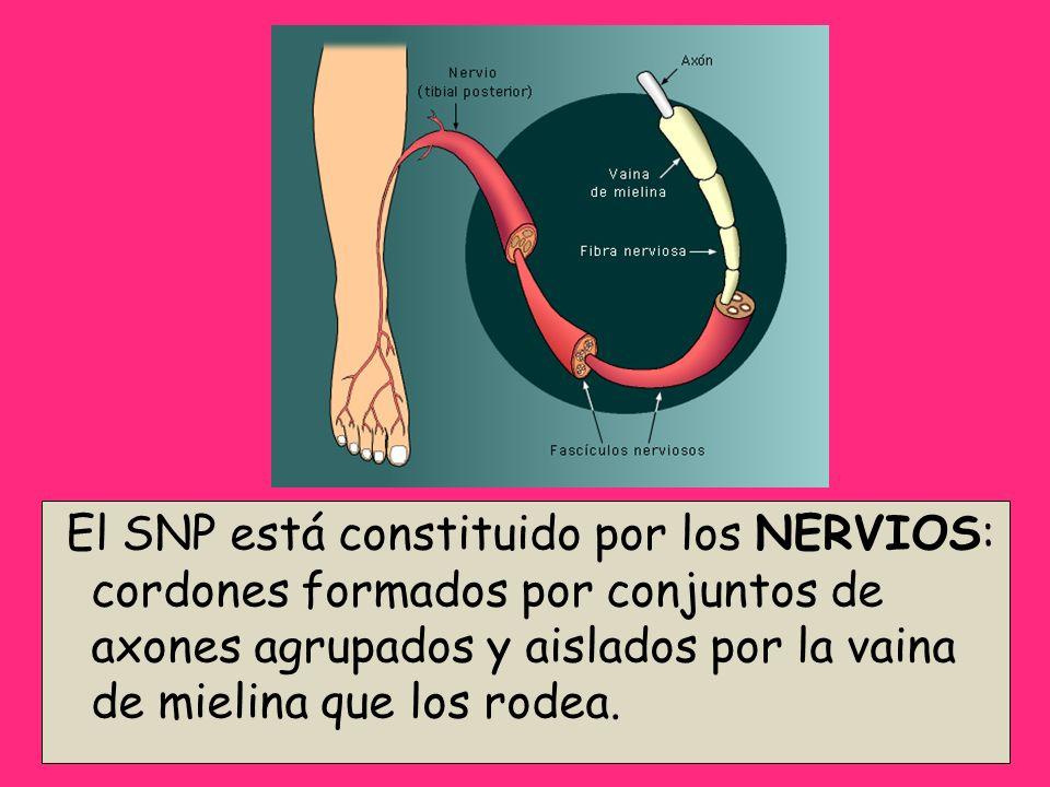 El SNP está constituido por los NERVIOS: cordones formados por conjuntos de axones agrupados y aislados por la vaina de mielina que los rodea.