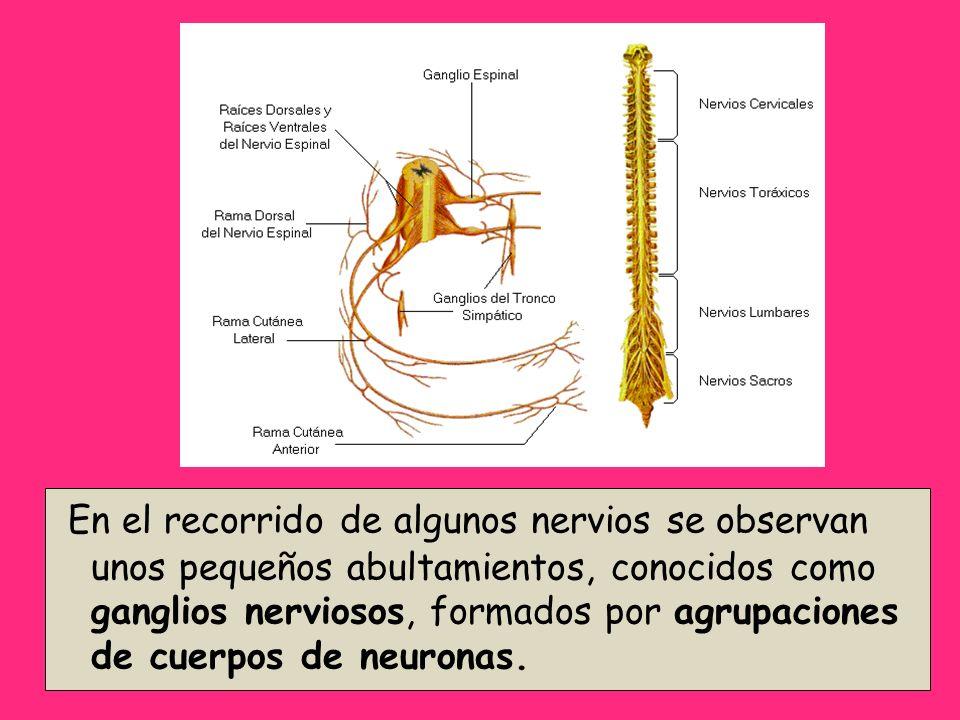 En el recorrido de algunos nervios se observan unos pequeños abultamientos, conocidos como ganglios nerviosos, formados por agrupaciones de cuerpos de neuronas.