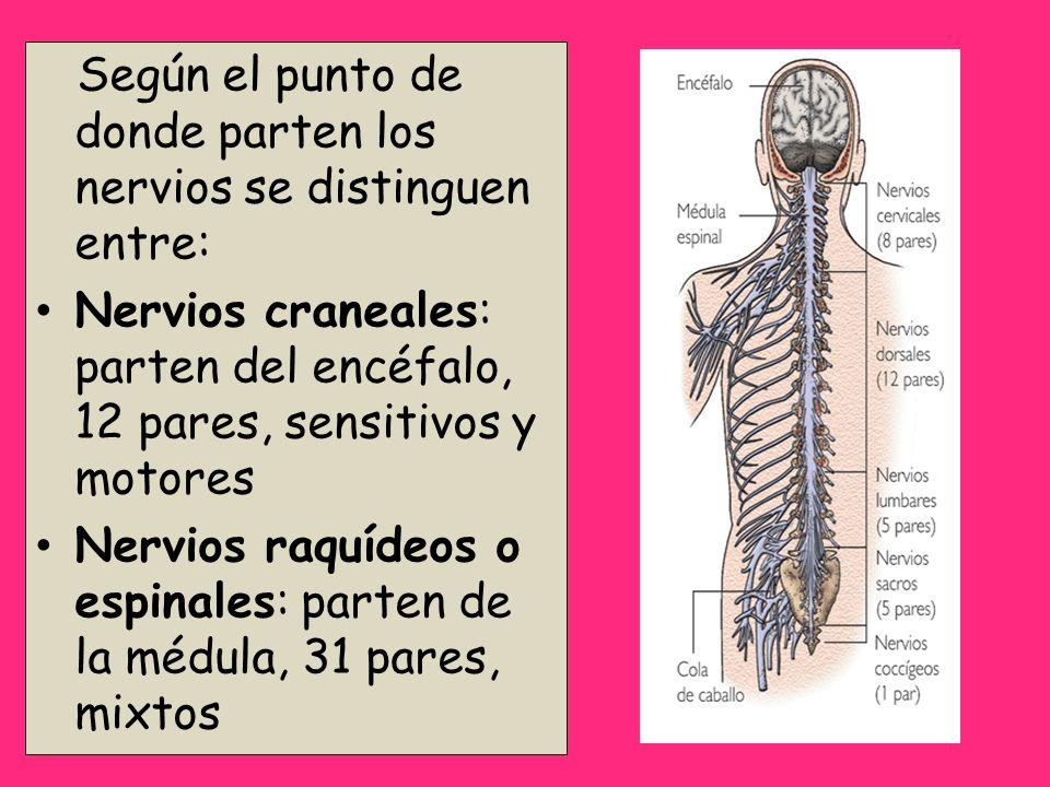 Según el punto de donde parten los nervios se distinguen entre: