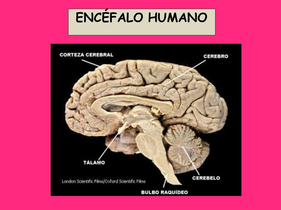 ENCÉFALO HUMANO