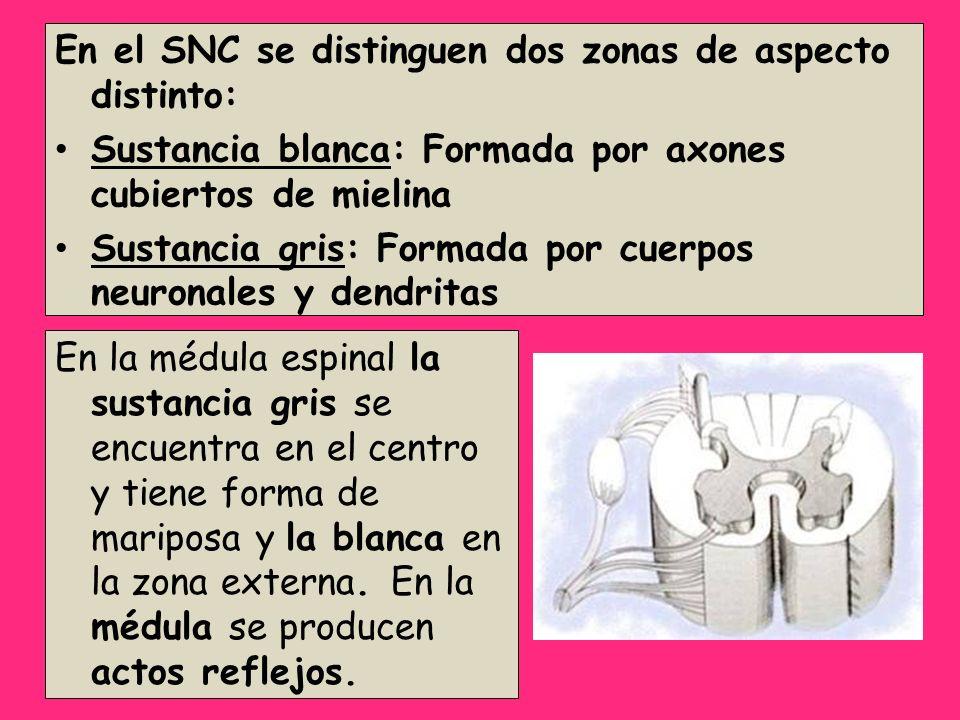 En el SNC se distinguen dos zonas de aspecto distinto: