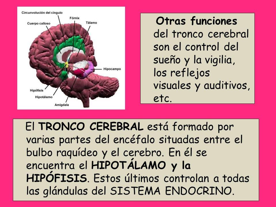 Otras funciones del tronco cerebral son el control del sueño y la vigilia, los reflejos visuales y auditivos, etc.