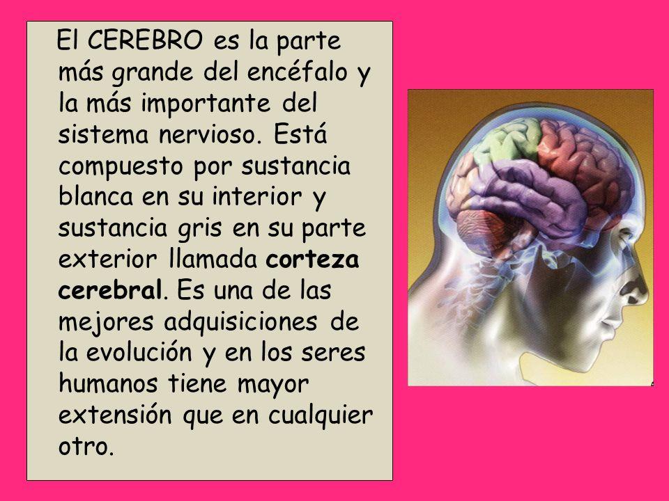 El CEREBRO es la parte más grande del encéfalo y la más importante del sistema nervioso.